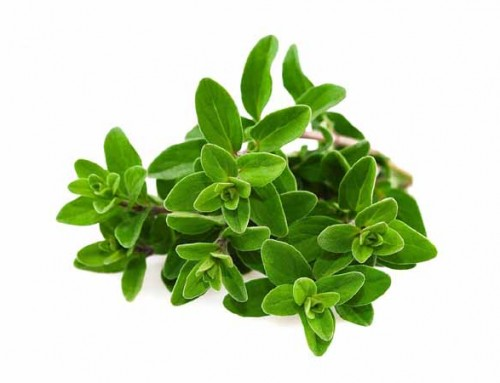 Mažuran (Origanum majorana)