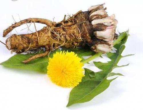 Maslačak (Taraxacum officinale)
